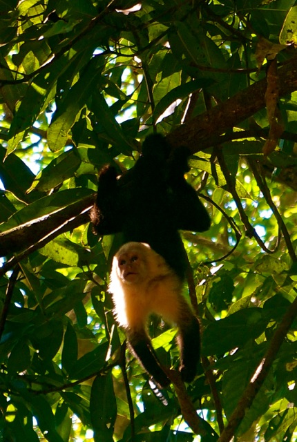 monkeys manuel antonio national park