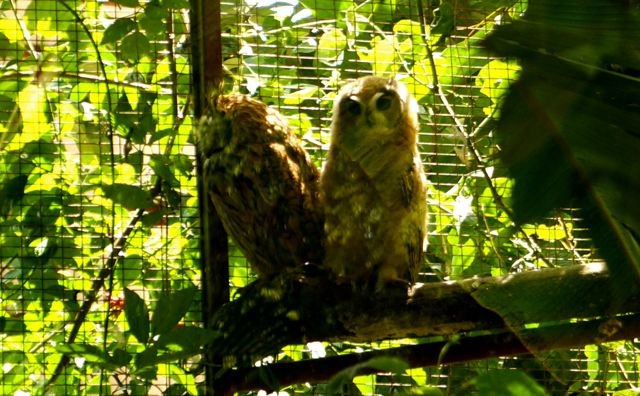 A pair of owls at the Jaguar Rescue Center