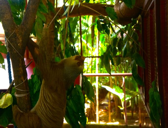 A sloth moves at the Jaguar Rescue Center