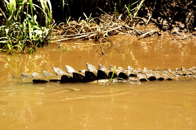 crocodile tail on Jjose's crocodile river tour