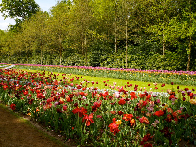 rows of tulips at Keukenhof Gardens
