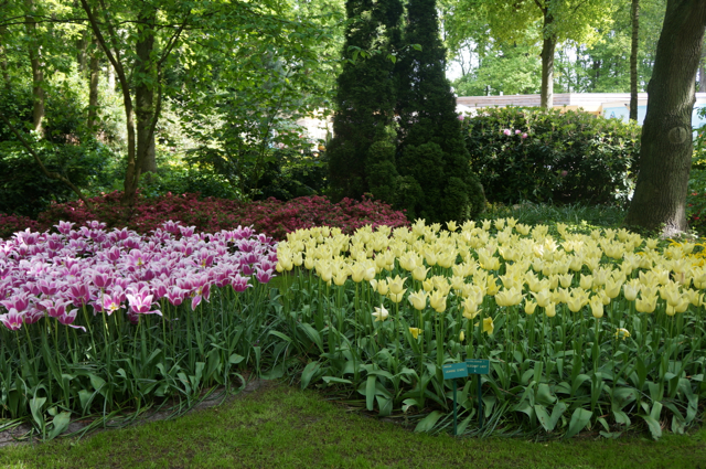 spring flowers at keukenhof gardens